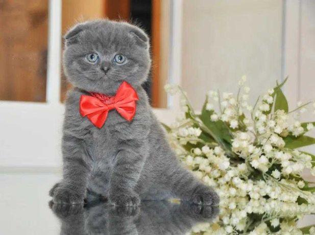 мальчик Одесса клубные шотландские котята вислоушка