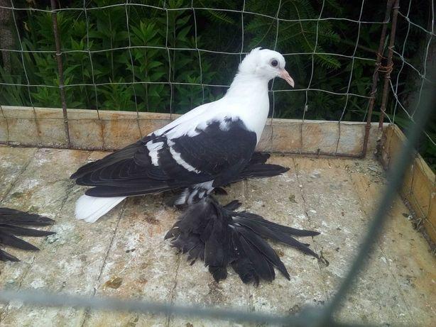 Czajka czarna - gołębie ozdobne