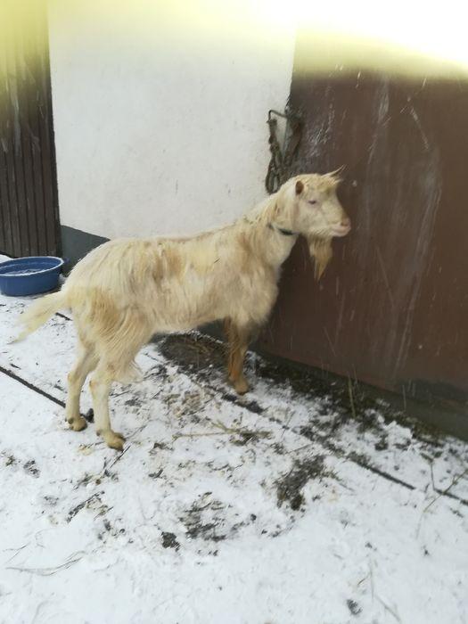Sprzedam koze kotną oraz kozła Szpetal Górny - image 1