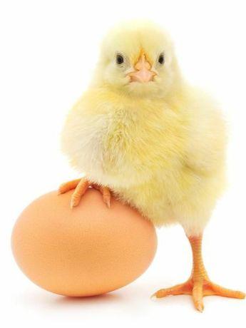 Ovos e alguns pintos de galinhas de raça pura
