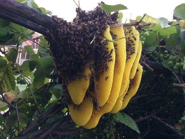 matki pszczele Buckfast KB czerwiące dostępne od reki