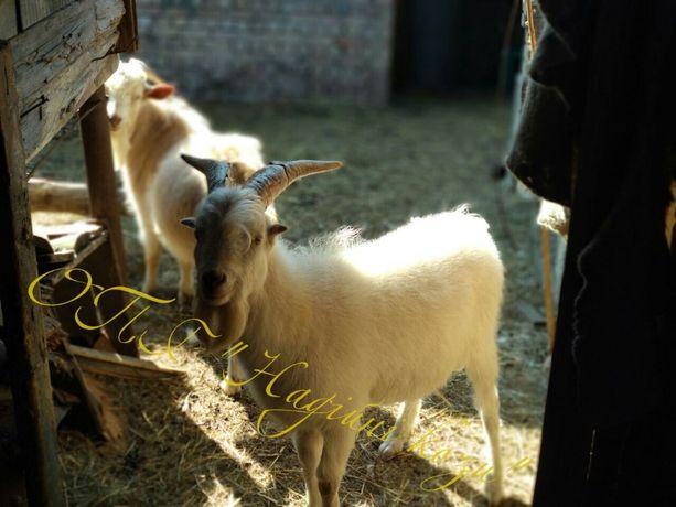 Корисне козине молоко, сир , козиний жир (лой)
