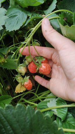 Розсада саджанці клубники полуниці