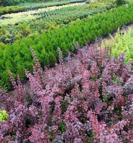 Декоративні хвойні рослини з власного розсадника
