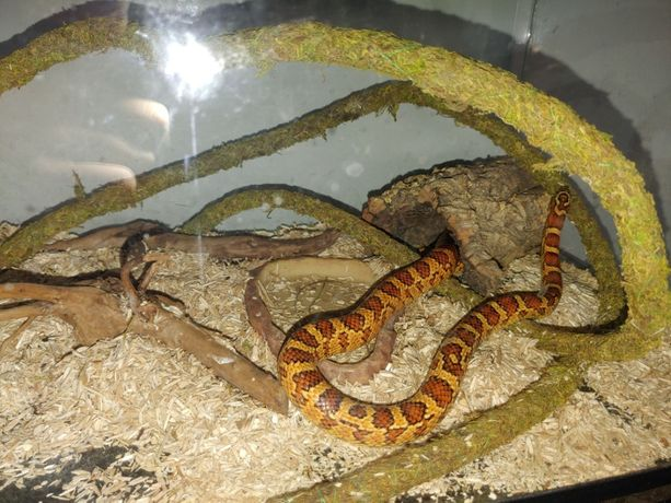 Węże Zbożowe + terrarium