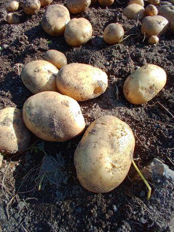 Vendo batatas novas