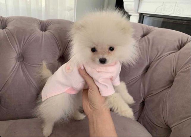 Pomeranian sunia FCI Mini suczka o pieknej urodzie