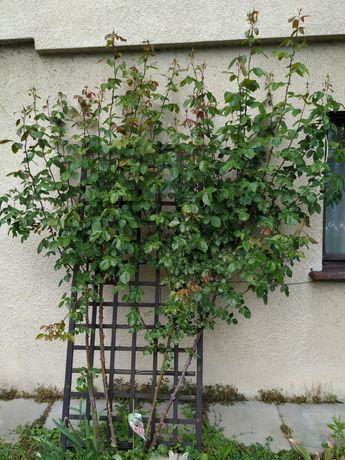 Duża 5 letnia pachnąca pnąca się róża