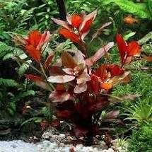 ludwiga red sadzonki z przycinki