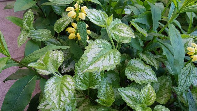 Зеленчук Пестролистный почвопокровный многолетник