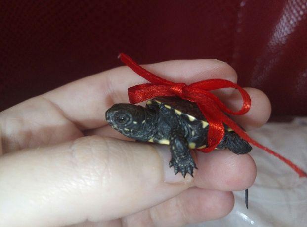 Забавная маленькая черепаха.Доставка по Украине