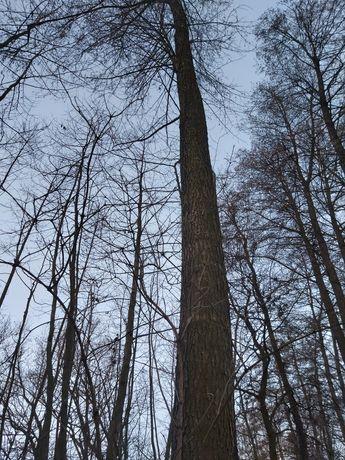Drzewo Olcha na tartak Osieczna