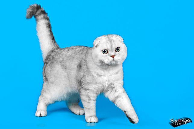 Кот скоттиш-фолд окраса шиншилла приглашает на вязку.