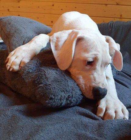 10tyg.szczeniak Dog Argentyński Dogo Argentino -Mocny Chlopczyk