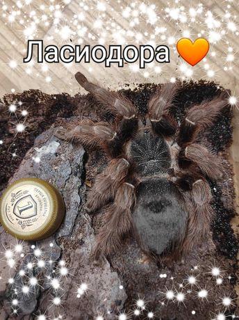Крупная взрослая самка паука Ласиодора Парахибана , корма