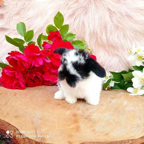 Mini lop, królik miniaturka, króliczek baranek