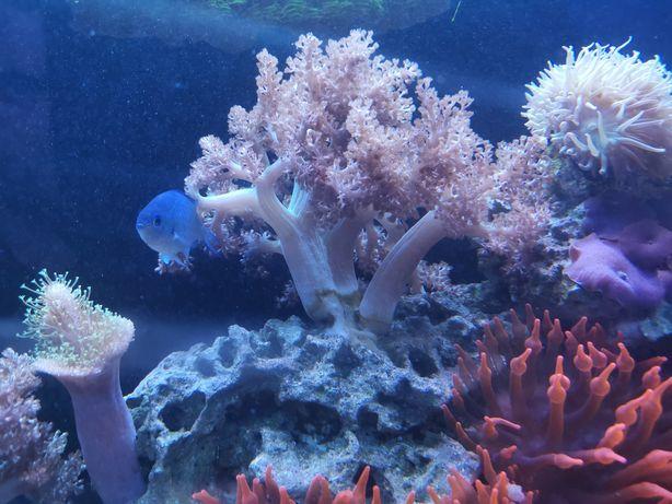 Capnella koralowiec, morskie akwarium L ostatnie.