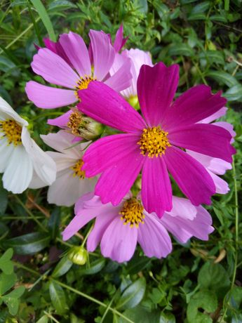 Семена цветов космея