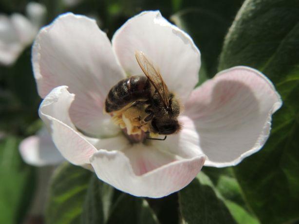 Продам бджолопакети 2021