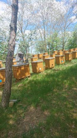 Pszczoły wraz z ulami, Warszawskie poszerzane