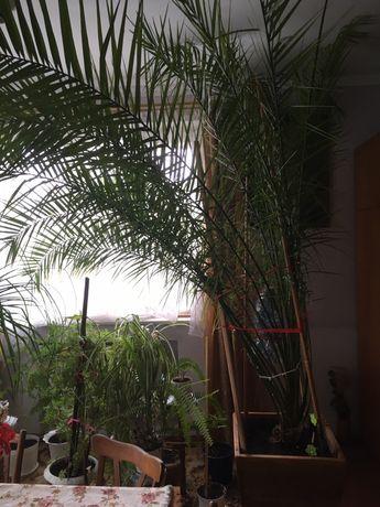 Продаю пальму