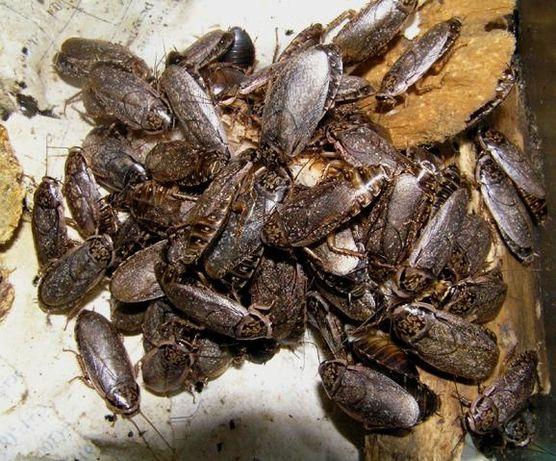Продам мраморных тараканов