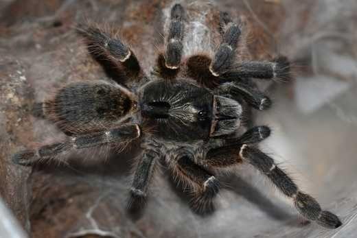Паук Ceratogyrus darlingi малыши