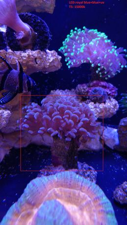 Euphyllia Ancora (Wall Hammer Coral) Morskie Edit: Zamienię