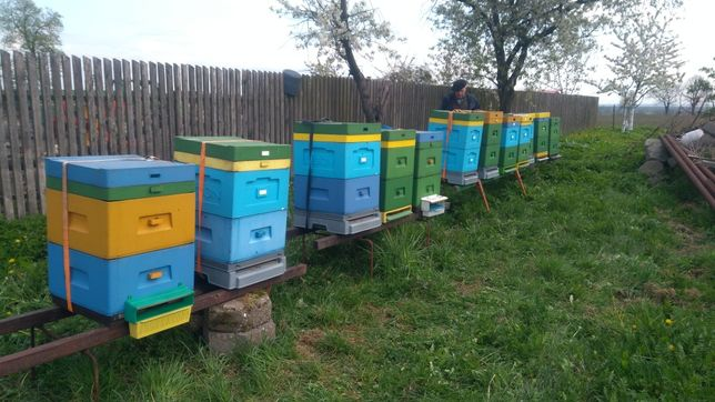 Rodziny pszczele ramka ostrowska