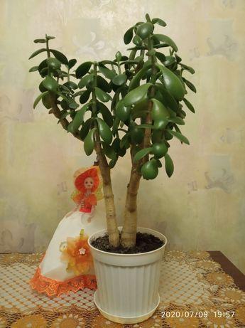 Денежное дерево с горшком