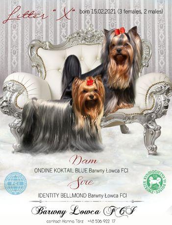 Yorkshire terrier - piesek ZKwP/FCI