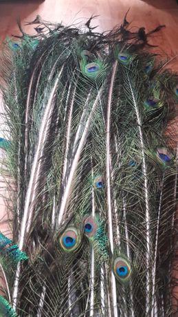 Pawie pióra - cały tren