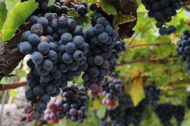 Winogron Sadzonki winorośl!Wiele odmian !Z własnej szkółki!Bezpestkowe
