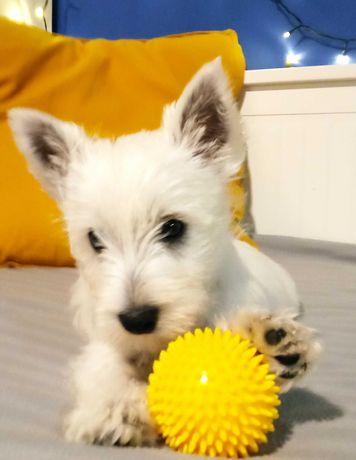 Suczka West Highland White Terrier do odbioru