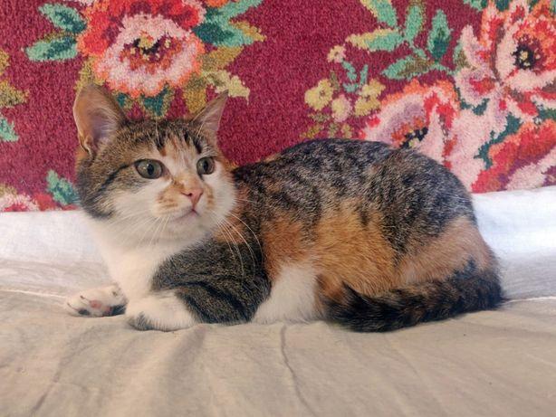 Трёхцветная кошка ищет дом