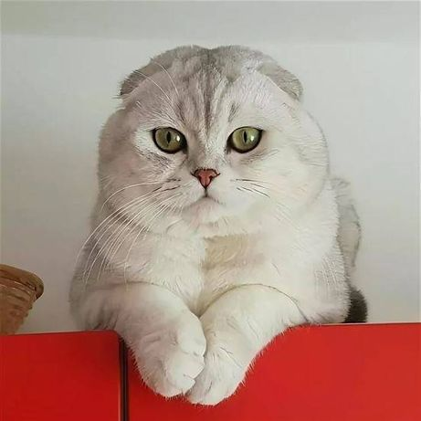 Продам шотландского вислоухого кота.