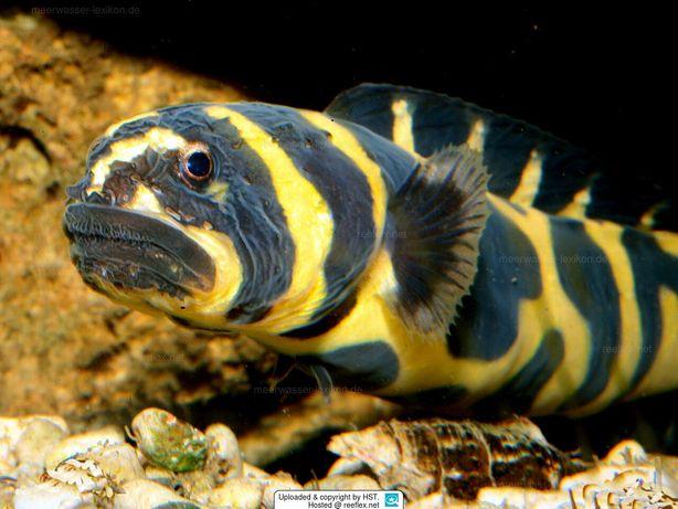 RYBA MORSKA Pholidichthys leucotaenia Babka Akwarium morskie WYSYŁKA