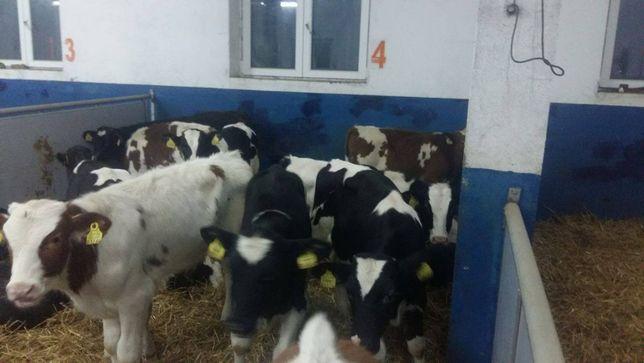Byczki, żarłoki, odsadki, 120-150 kg,na paszy bez mleka, dowóz
