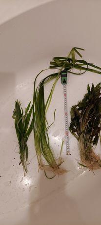 Zestaw dużych roślin, ponad 20 sadzonek