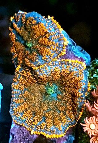 Rhodactis Premium akwarium morskie akwarystyka morska koralowiec