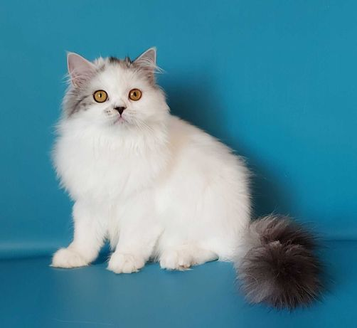Прекрасный котенок шотландец