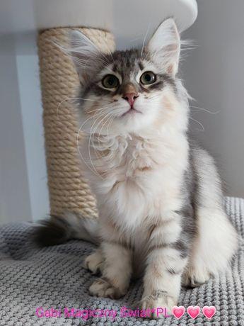 Ostatnia z miotu koteczka syberyjska z prawdziwym rodowodem WCF