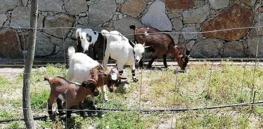 Cabras Anãs→ 2 fêmeas e 1 Macho a partir de 60€