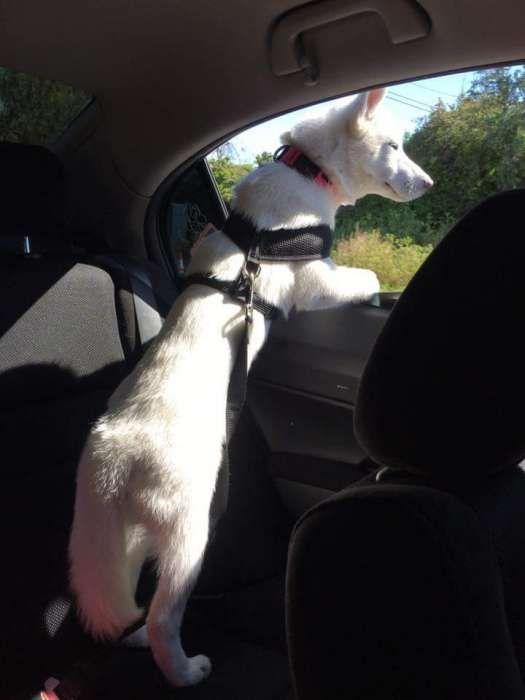 cinto de segurança para cão ou gato cães e gatos animais estimaçao