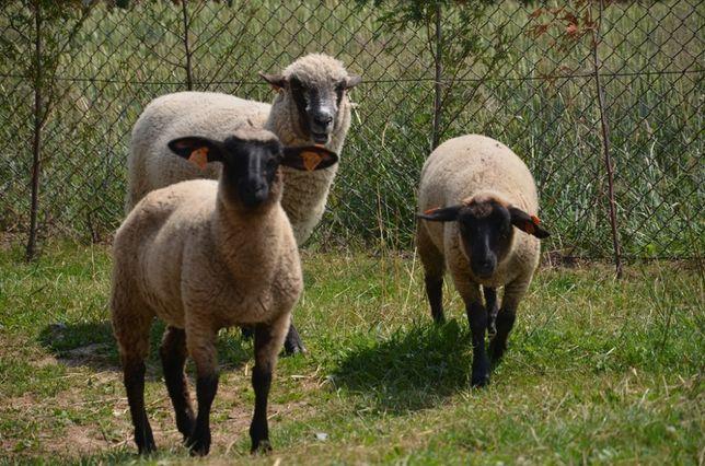 Jagnięcina tusze 25zł kg Owce ras mięsnych