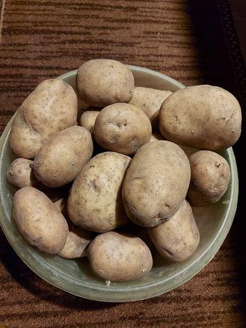 Ziemniaki odmiana Cyprian