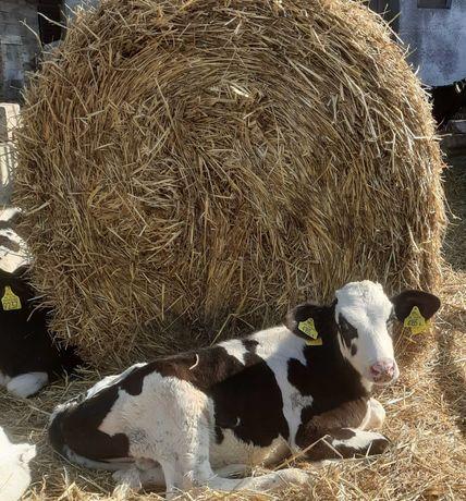 byczki cielęta 60 -120 kg