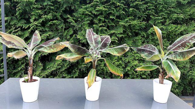 Bananowiec Musa wysokość ok 40cm