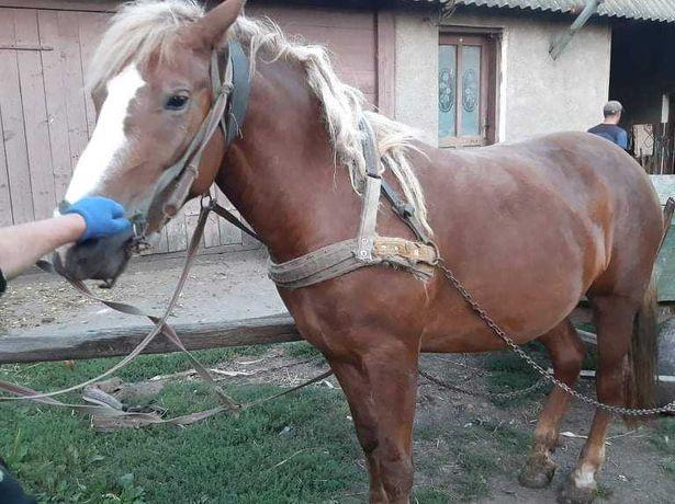 Коні,      кобили.