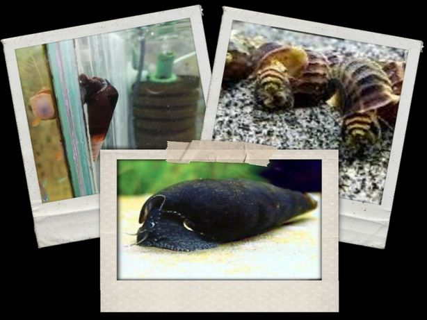 Tylomelania mambo ice, black devil, king snail od 10 sztuk po 6 zł